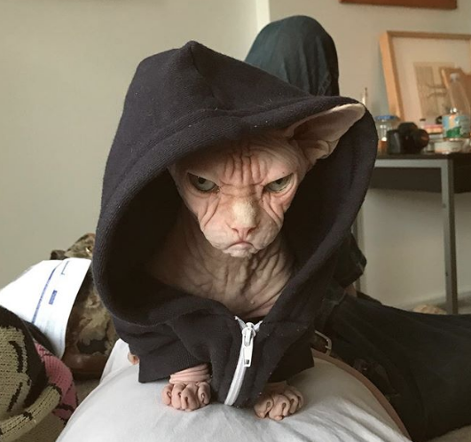 Loki the Sphynx cat